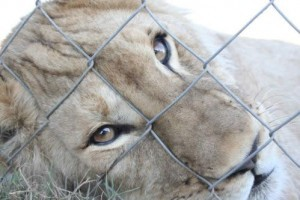 canned-hunting-11
