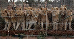 Canned Hunt Lions